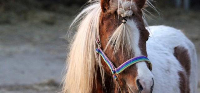 Fokkerij mini paarden